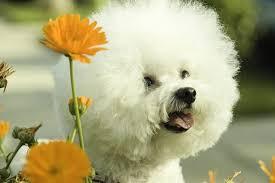 bichon frise intelligence the definitive ranking of dog breeds