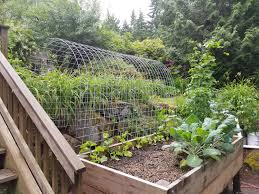 my new garden trellis tunnel for things like chamoe minnesota