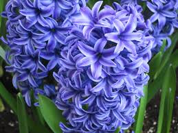 hyacinth flower countdown 2 flowers flower flowerpower it s