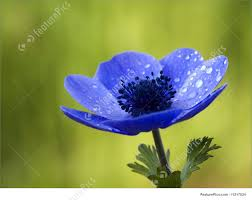 anemone flowers blue anemone flower with waterdrops photo