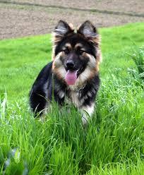 australian shepherd husky puppy shepherd husky lab mix i need i want soooo bad that u0027s me
