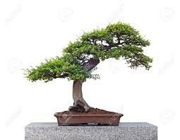 bonsai tree stock photos u0026 pictures royalty free bonsai tree