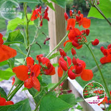 compare prices on climbing roses red online shopping buy low