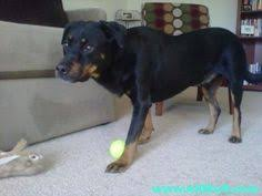american pitbull terrier rottweiler mix rottweiler american pitbull terrier german shepherd mix this looks
