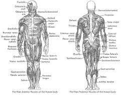 Picture Diagram Of The Human Body Muscle Diagram Human Body Labeled Human Anatomy Chart