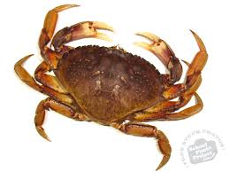 dungeness crab free stock photo image picture dungeness crab