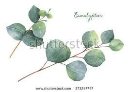 eucalyptus stock images royalty free images u0026 vectors shutterstock
