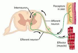 How Does A Reflex Arc Work In A Nervous System Reflex Arc Diagram Tutorvista Com