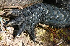 alligator claws file alligator left forepaw jpg wikimedia commons