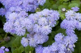 10 easy care plants for ageratum plants u2013 growing and caring for ageratums