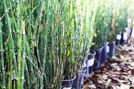 ephedra plant wikipedia img 0932 u2013 archies gardenland