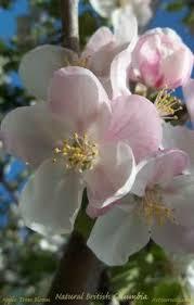 apple tree bloom wallpapers wallpapers of flowers hd http www 0wallpapers com 1991