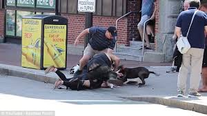 american pitbull terrier uk law boston pitbull injures owner gets of beagle trying to save her pet