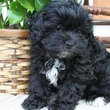 shi poo dogs blog dog blog shih poo blogs on dogs