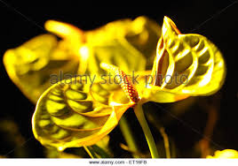 anthurium flower india anthurium flowers stock photos india anthurium flowers