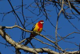 native new zealand plants list eastern rosella new zealand birds online