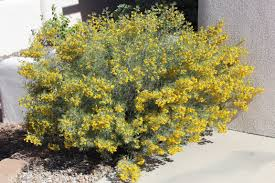 native plants that attract butterflies senna wislizeni shrubby senna native deciduous woody and tough