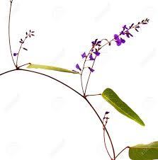purple flowering australian native plants sarsaparilla vine hardenbergia violacea australian native plant