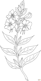 enothera biennis or evening primrose or evening star coloring page
