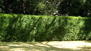 cities need hedges as well as trees for environment news
