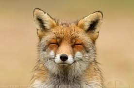 Fox Meme - create meme of va of va fox face happy fox pictures