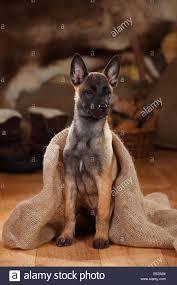 belgian malinois puppies 6 months belgian malinois stock photos u0026 belgian malinois stock images alamy
