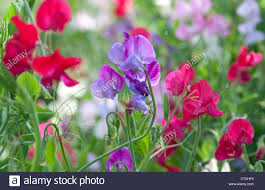 sweet peas flowers colourful sweet pea flowers in garden stock photo