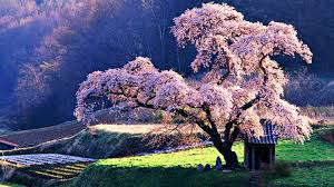 18 most beautiful trees in the world