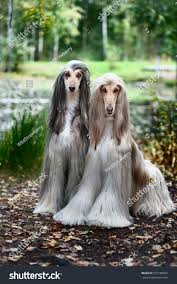afghan hound kennel in australia two afghan hounds portrait stock photo 557168935 shutterstock