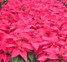 christmas plant poinsettias facts growing and caring tips of poinsettia plant