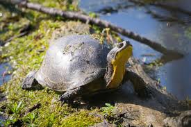 blanding u0027s turtle wikipedia
