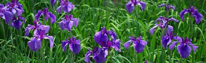 meaning of iris flower facts u0026 history of iris