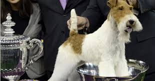 affenpinscher won westminster wire fox terrier wins best in show at westminster