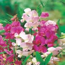everlasting sweet pea 3 pots of everlasting sweet pea plants hardy perennial climbing plant