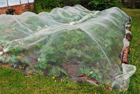 How To Keep Pests Away From Garden - protecting strawberries from birds bonnie plants