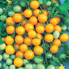 the mysteries of ripening tomatoes official blog of park seed