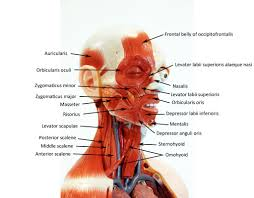 picture of the human head muscles model with labels muscle