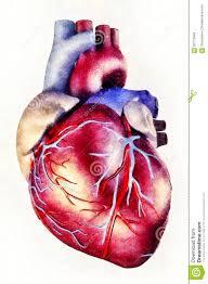 human heart anatomy illustration stock illustration image 62770849