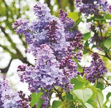 Lilac Flower by Cool Weather Is Extending Season For New Hampshire U0027s State Flower