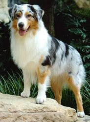 65 lb australian australian shepherd australian shepherd breed pictures and information only dog breeds