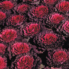 osaka ornamental cabbage seeds gardening