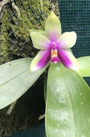 Orchids Facts by 17 Best My Phalaenopsis Orchids Images On Pinterest Orchids
