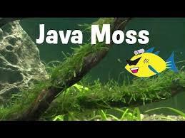 java moss aquarium plant profile youtube