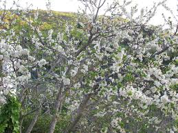 fluffy white plum blossom notes on a valley