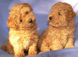 bichon frise dog breeders bichon frise puppies for sale rescue info price u0026 lifespan described