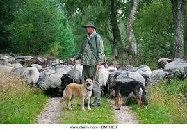 belgian shepherd herding herding dog breed stock photos u0026 herding dog breed stock images