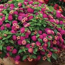 i u0027m dreaming of a red violet garden sensational color