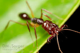jaw ants exhibit previously unseen jumping behavior