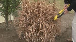 garden guru trimming ornamental grasses