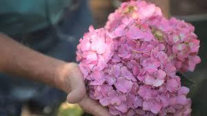 how to prune a pom hydrangea fall u0026 winter gardening tips youtube